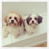 Shichon, 6 and 8 months, Brown and white