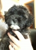 Shichon, 10 weeks, black & white
