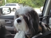 Shichon, 5 1/2 yrs., Gray & White
