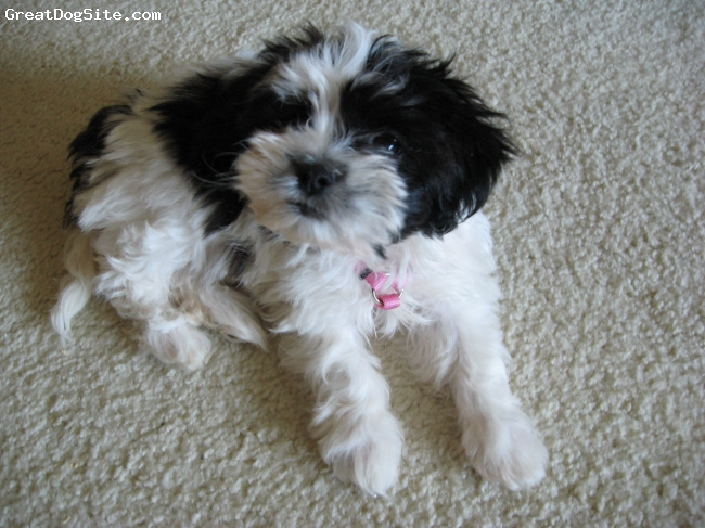 "Shichon, 3 Months, Black & White, Ziporah (""Zipi"") is a female Shih Tzu/Bichon Frise hybrid who was born in Kansas in September 2009."