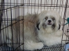 Shih Tzu, 1 year old, 3 in 1-white,black and brown