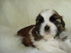 Shih Tzu, 4 weeks, red/white