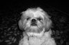 Shih Tzu, 1, White,Brown