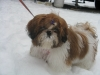 Shih Tzu, 6 mo, red w white