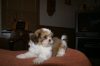 Shih Tzu, 9 week, gold and white