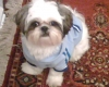 Shih Tzu, 2, white/gray