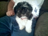 Shih Tzu, 10 weeks, Black and White