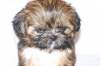 Shih Tzu, 7 Weeks, brown
