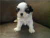 Shih Tzu, 7 Weeks, brown/White