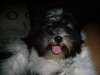 Shih Tzu, 2 yrs, Black & white