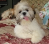 Shih Tzu, 7 months, White and Brown