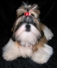 Shih Tzu, 6 months, red-gold-white