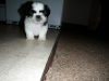 Shih Tzu, 9 weeks, Black & white