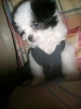Shih Tzu, 3 mos, black and white