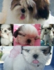 Shih Tzu, 2 MONTHS, Tri color white with brown black on her head & tail