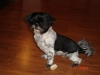 Shih Tzu, 4 Years, Black and White