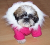 Shih Tzu, 3 months, honey and white with black  frindging