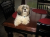Shih Tzu, 1, light brown and white