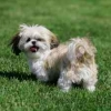 Shih Tzu, five months, white - light brown