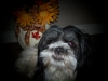 Shih Tzu, 2, black and white