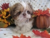 Shih Tzu, nine weeks, reddish liver and white