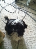 Shih Tzu, 1 year, Black and white