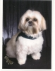 Shih Tzu, 18 months, white,brown & black