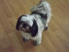 Shih Tzu, 7, Black/White