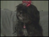 Shih Tzu, 4 yrs old, black & gray w/2 white paws