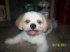 Shih Tzu, 3 yrs. 6 mos., white w/ brown color