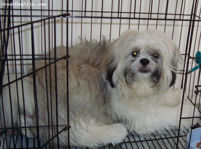 Shih Tzu, 1 year old, 3 in 1-white,black and brown, Great dog!
