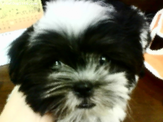 Shih Tzu, 3 months, black+white+brown, hyperactive, a girl, cute, playful