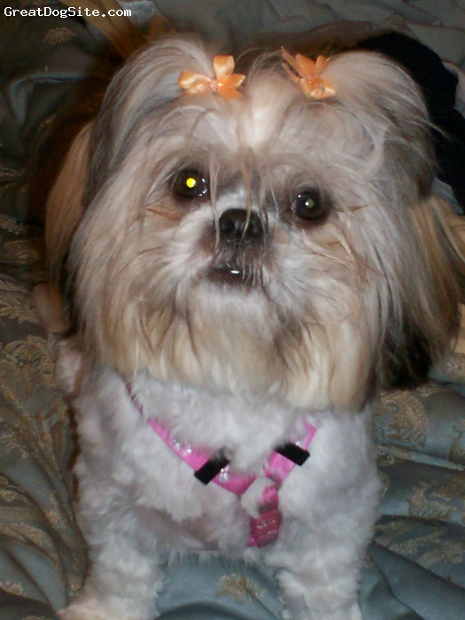 Shih Tzu, 1, multi, Sweet but VERY active...She sometimes resembles Einstein....She still chews things and is a groomers nightmare....Weird, she is not grouchy any other time except hates the blow dryer and clippers....I love her bunches!  She's hillarious!