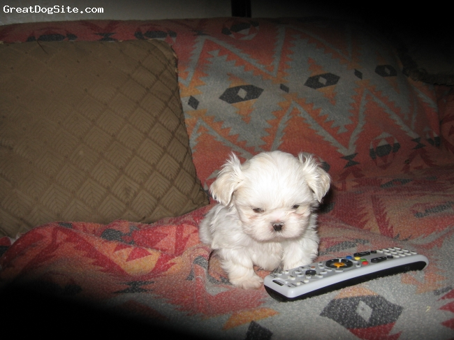 Shih Tzu, 6 weeks, white, CKC registered shih tzu male puppy with papers.Born and raised in my home.Also have two brown and white male and female.1 year health gaurantee from any birth defects.