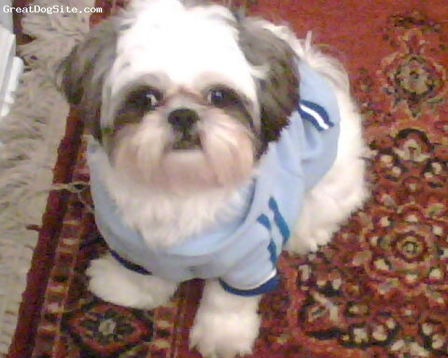Shih Tzu, 2, white/gray, I know they do not require much exercise, but I take him on 2 or 3 long walks a day and he loves it.  This picture was taken during the winter with his sweater. So cute!!!