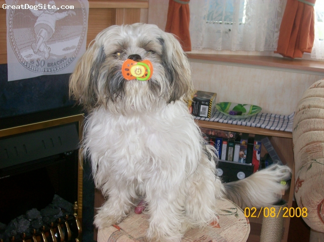 Shih Tzu, 1 and half year old, White, gray and sandy, Cute