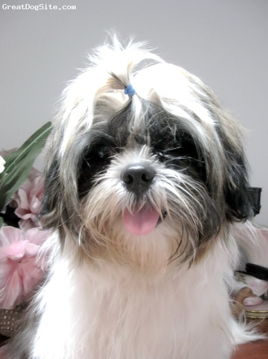 Shih Tzu, 6 months, tri colour:white,brown,black, Very cute attitude and loyal.friendly,always follow u everywhere:D