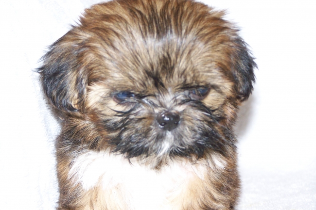 Shih Tzu, 7 Weeks, brown, My favorite puppy of the litter