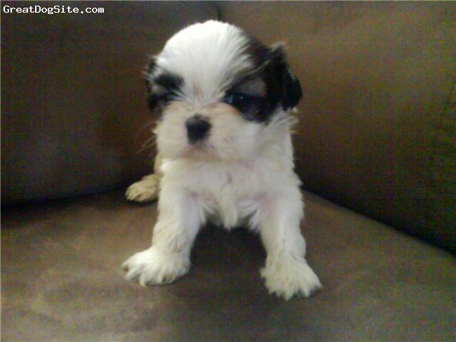 Shih Tzu, 7 Weeks, brown/White, Baby Hannah beautiful lil face :)