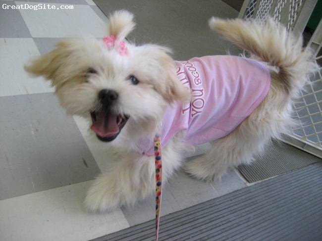 Shih Tzu, 1, Blonde, She is a sweet princess. Everyone loves her!