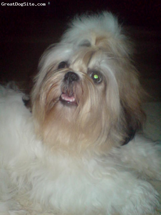 Shih Tzu, 8 monthd old, Tri-color white brown and black, hi to everyone this my little cute dog namely PRINCESS., so active., and playful. sweet. always act like a little baby girl., ehhe., kudos.,^_^