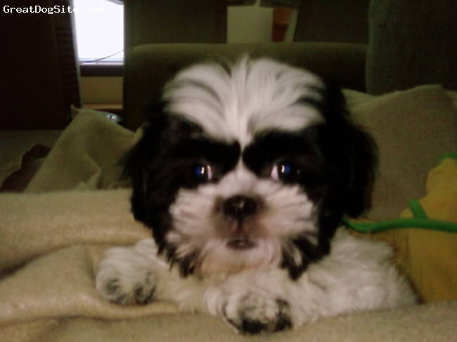 Shih Tzu, 12 weeks, Black and White, A little small king who has me wrapped around all four of his paws