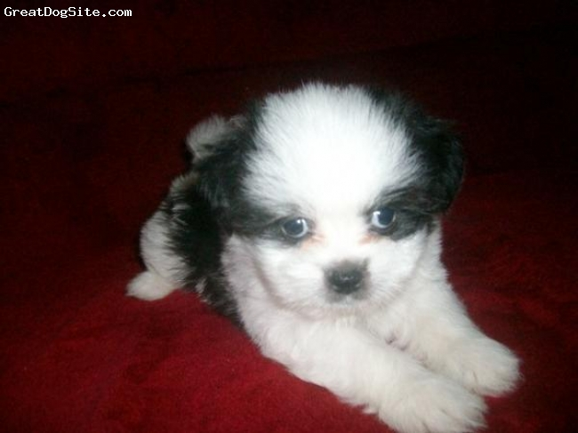 Shih Tzu, 3 mos, black and white, cute little bou shih tzu dog