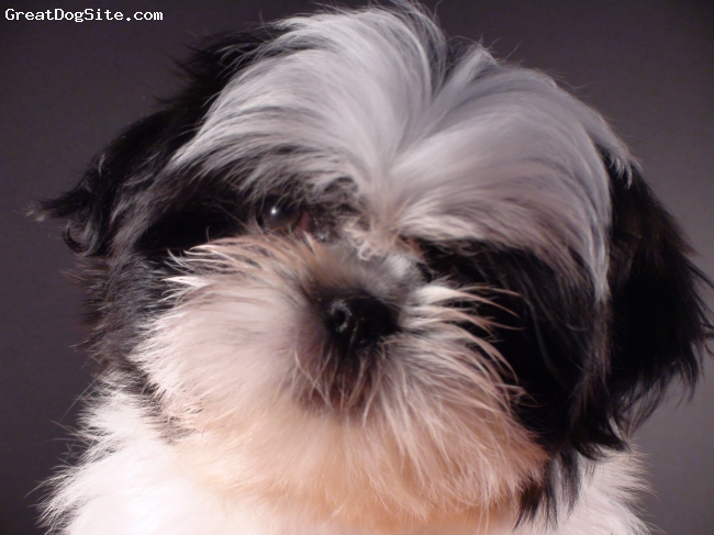 Shih Tzu, 2.5 mo, black and white, One of my shih tzu when she was 2.5 months old.