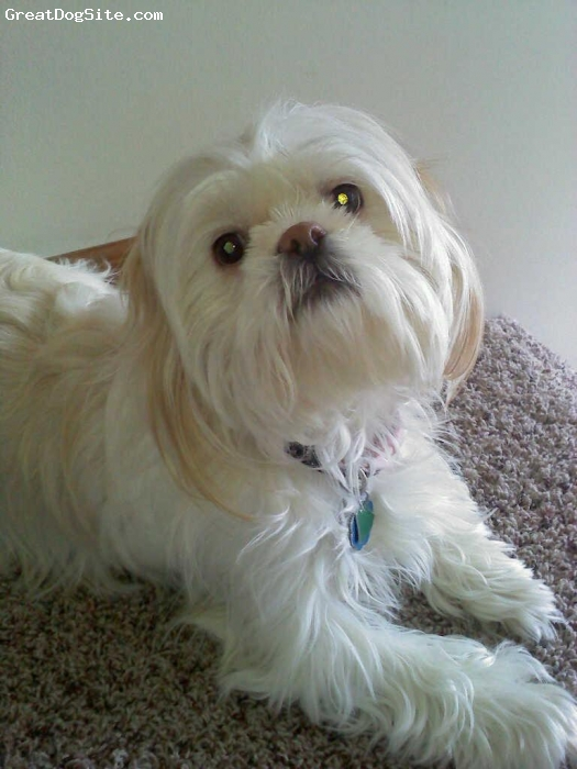 Shih Tzu, 6 years old, White, Tessa is very loving but extremely protective.She is more relaxed around adult people. She love to play and run durning the day and is defunately a snuggler in the evening!