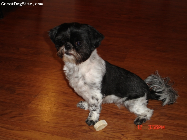 Shih Tzu, 4 Years, Black and White, Mama's little shadow!!!!