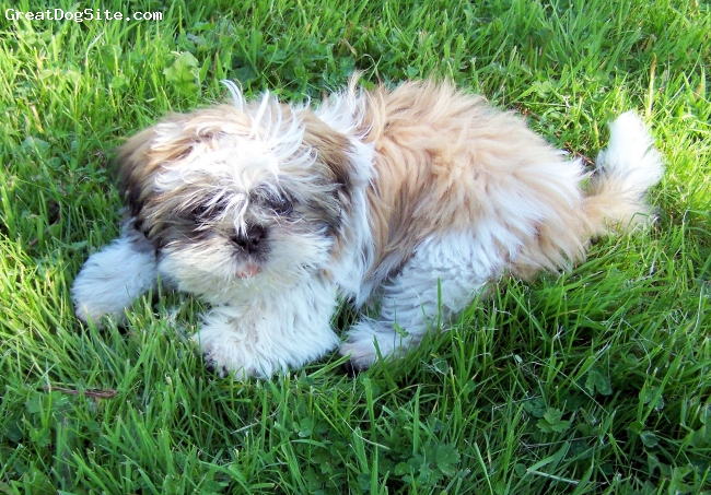 Shih Tzu, 3 months, honey and white with black  frindging, Daffy 4 months old