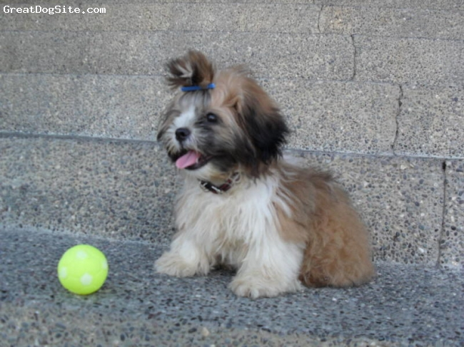 Shih Tzu, 4 months old, tri color, he is smart, well trained and lovable.