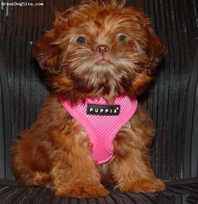 Shih Tzu, 3 months, red liver, Sweet, loving, playful smart and adorable.