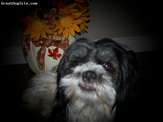 Shih Tzu, 2, black and white, max is 14 pounds, and spoiled rotten. Always gets his way. Very playful, and loves to go for rides in the car.